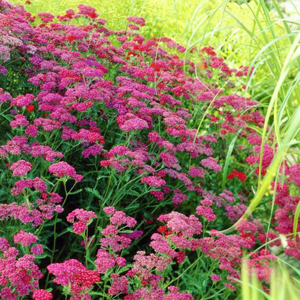 ACHILLEA-Cerise-Queen-millefolium-Achillée-Common-Yarrow
