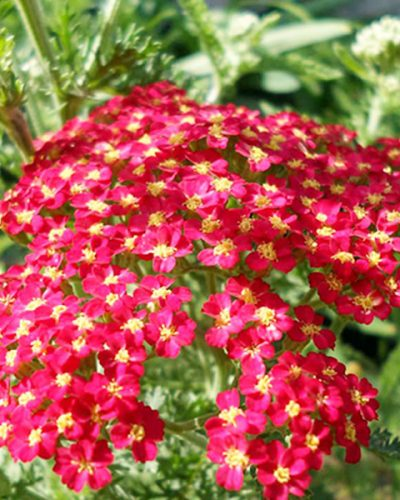 ACHILLEA Red Beauty