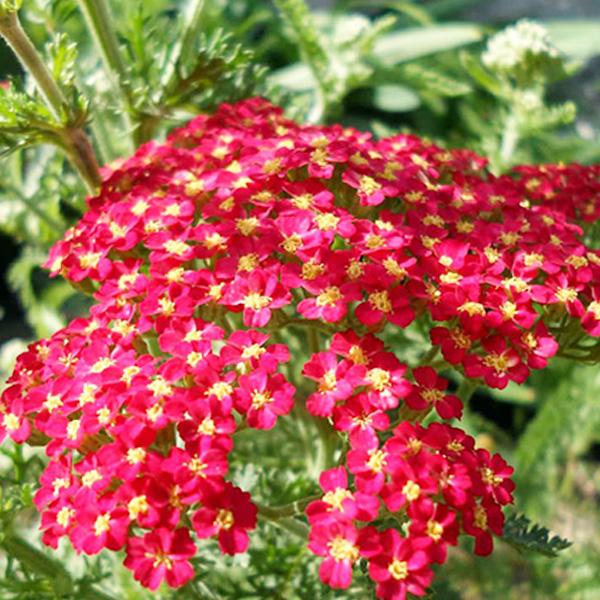 ACHILLEA Red Beauty