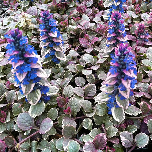 AJUGA-Burgundy-Glow-jardins-michel-corbeil