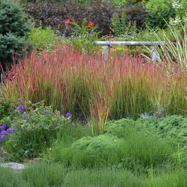 foto de IMPERATA cylindrica Red Baron IMPERATA JAPANESE BLOOD GRASS Jardins Michel Corbeil