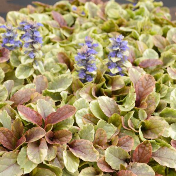 ajuga-golden-beauty