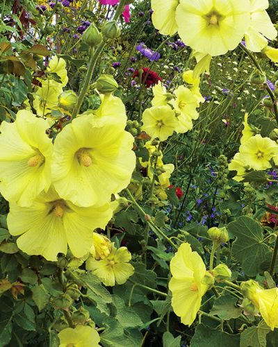 alcea-russian-hollyhock