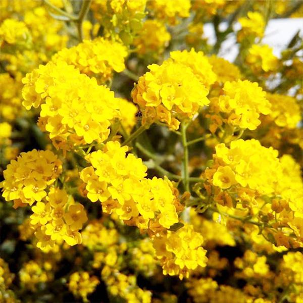 alyssum-saxatile