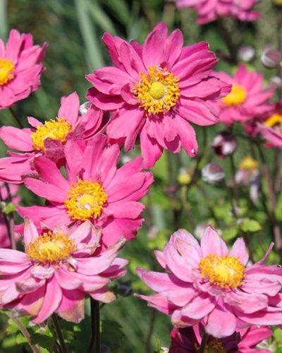 anemone-pamina-jardins-michel-corbeil