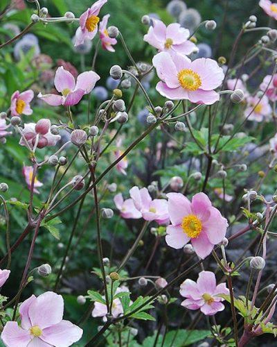anemone-robustissima