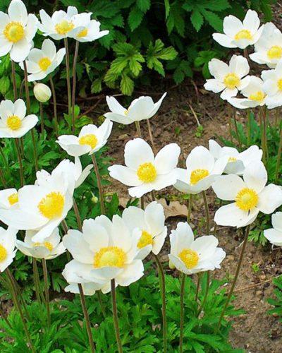 anemone-silvestris