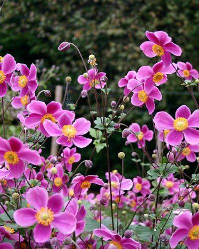 anemone-splendens