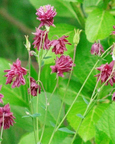 aquilegia-ruby-port