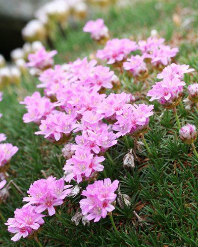 armeria-juniperifolia