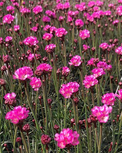 armeria-rubrifolia