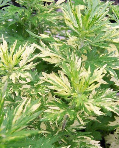artemisia-vulgaris-oriental-limelight