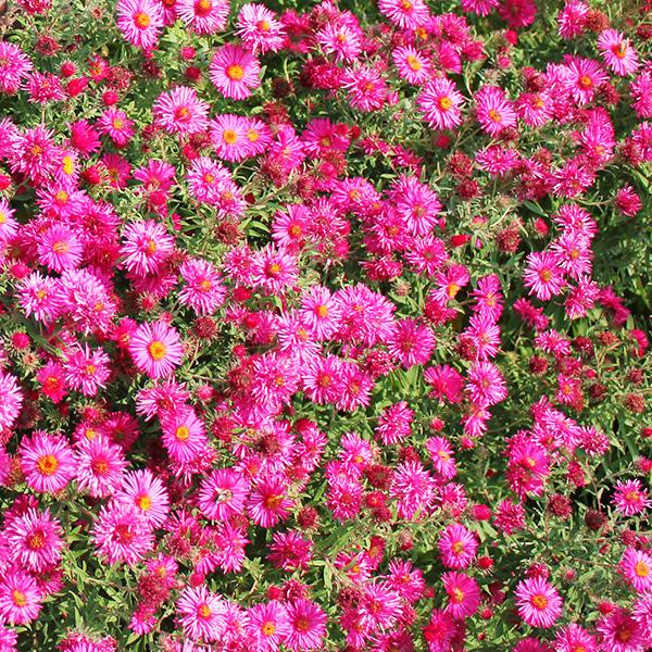 aster-september-ruby