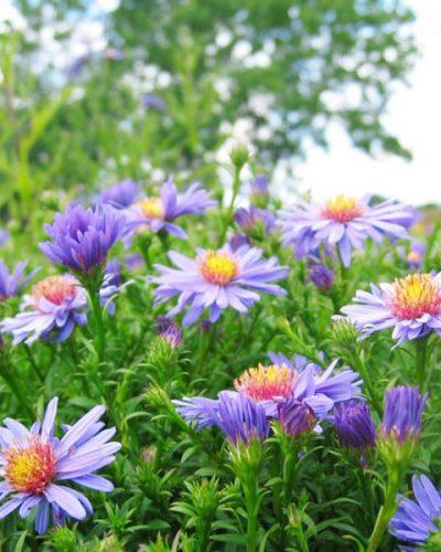 aster-violet