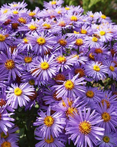 aster-woods-purple