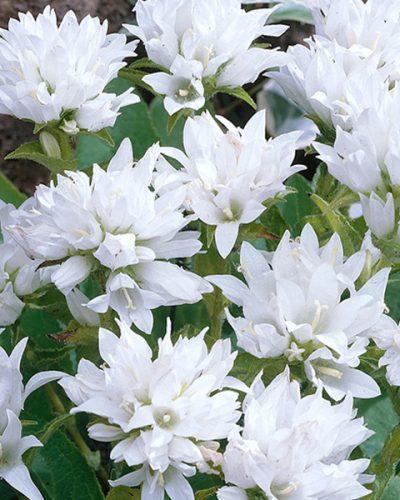 campanula-alba-glomerata