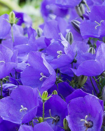campanula-blue-clips