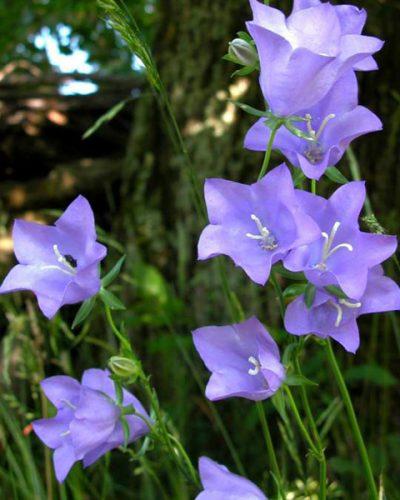 campanula-grandiflora-persicifolia