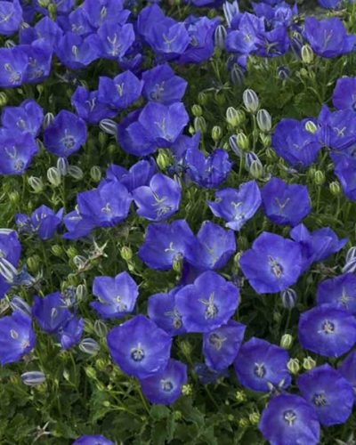 campanula-pearl-deep-blue-carpatica