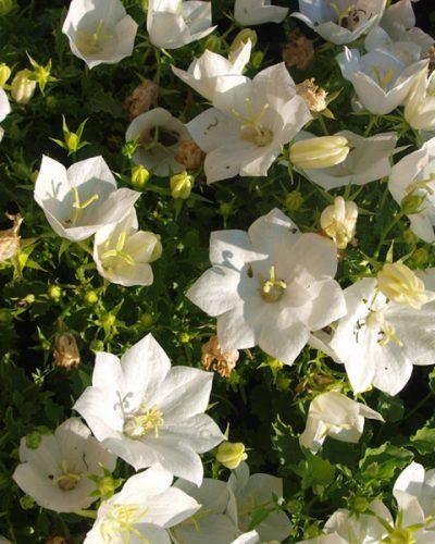 campanula-pearl-white-carpatica