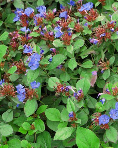 ceratostigma-plumbaginoides-jardins-michel-corbeil
