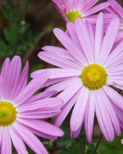 chrysanthemum-clara-curtis
