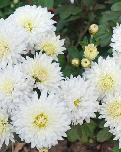 chrysanthemum-my-favorite