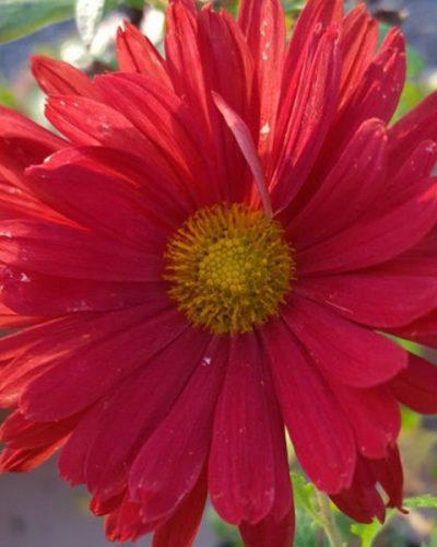 chrysanthemun-duchess-edinburg