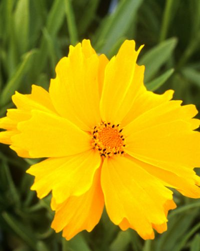 coreopsis-flying-saucers