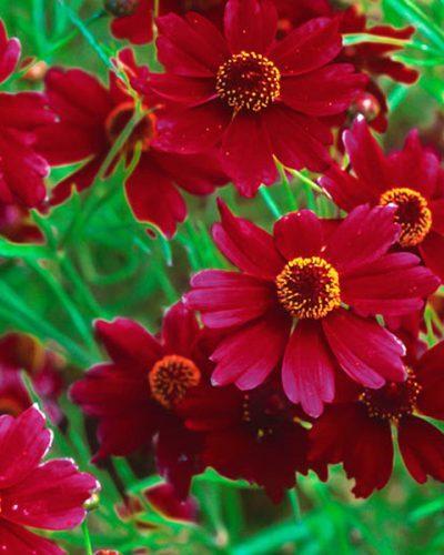 coreopsis-limerock-ruby