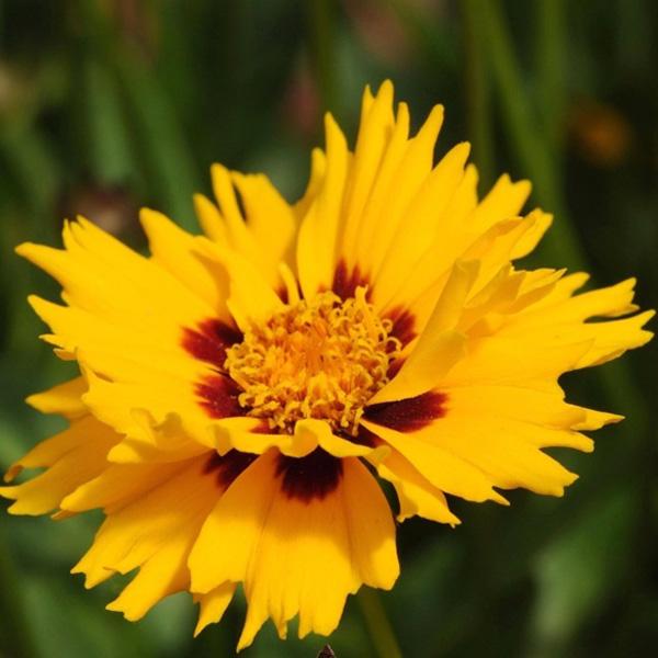 coreopsis-rising-sun