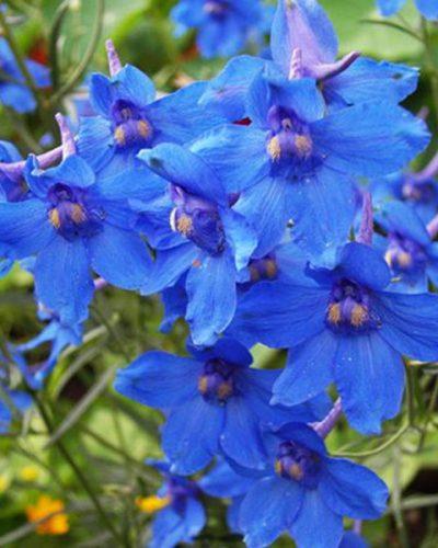 delphinium-blue-butterfly