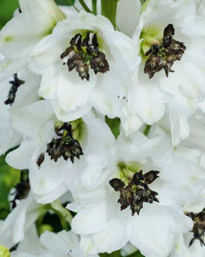 delphinium-white