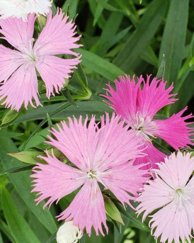 dianthus-bouquet-rose