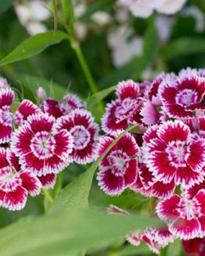 dianthus-nanus-jardins