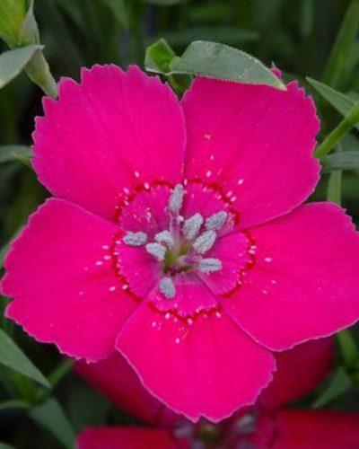 dianthus-zing-rose