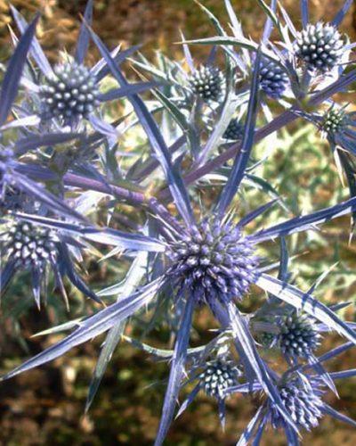 eryngium-amethystinum-panicaut-sea-holly