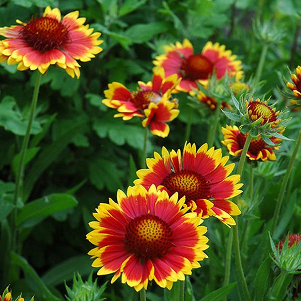 gaillardia-goblin-grandiflora-blanket-flower