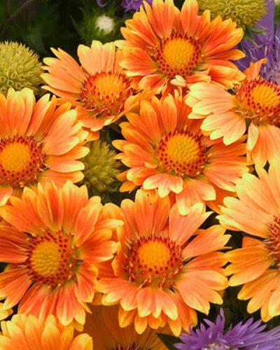 gallardia-oranges-and-lemons-gaillarde-blanket-flower