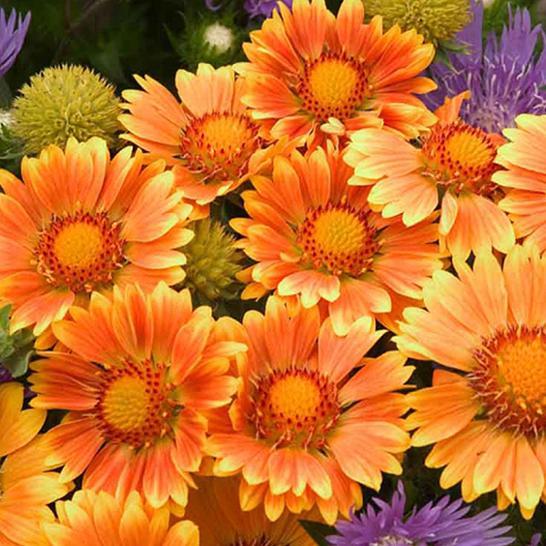 gallardia-oranges-and-lemons-gaillarde-blanket-flower