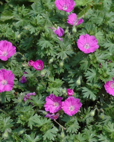 geranium-max-frei-sanguineum-geranium