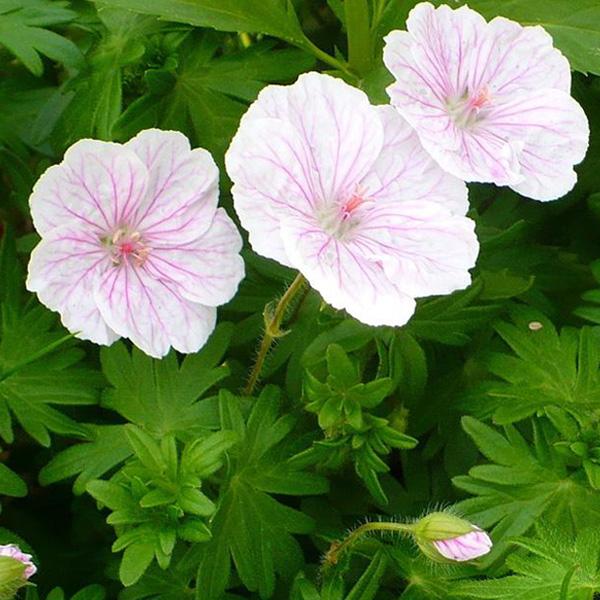 geranium-sanguineum-var-striatum-syn-g-sanguineum-lancastriense