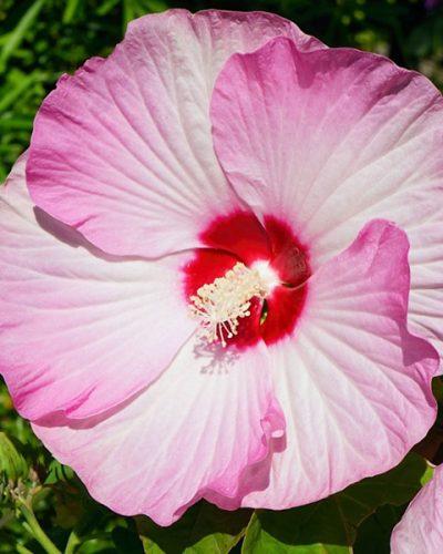hibiscus-luna-blush-moscheutos