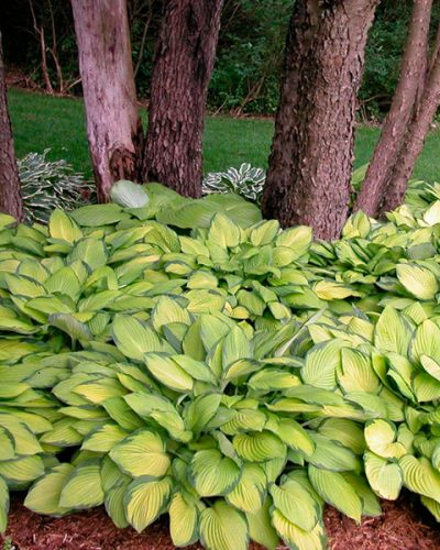 hosta golden standar