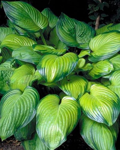 hosta-guacamole avocado