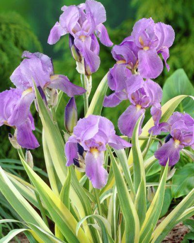 iris-aurea-variegata-pallida