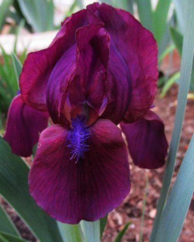 iris-cherry-garden