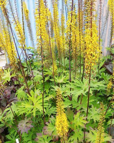 ligularia-przewalskii-goldenray