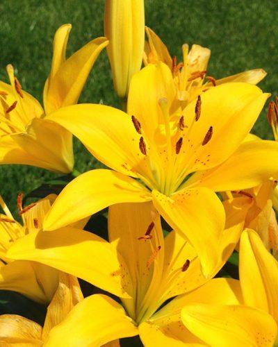 LILIUM asiatique (jaune)