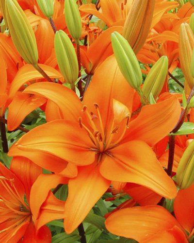 lilium-asiatique-orange